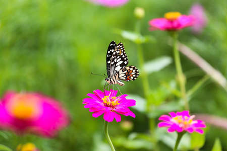 Butterfly In Garden And Flying To Many Flowers In Garden, Beautiful Butterfly  In Colorful Garden
