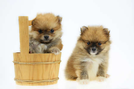 Pomeranian dog isolated out of background on white background, Pet in farm and pomeranian dog in toy group because sizing small and friendly with people, The pet form farm and popular.