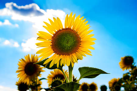 Pflanzen: Sunflower with clouds in the background