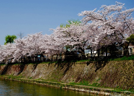 Cherry Trees Along A Canal