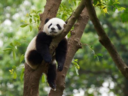 Panda Bear In A Tree