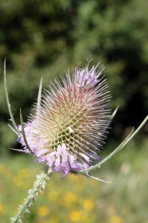 Fleur des champs, the thistle
