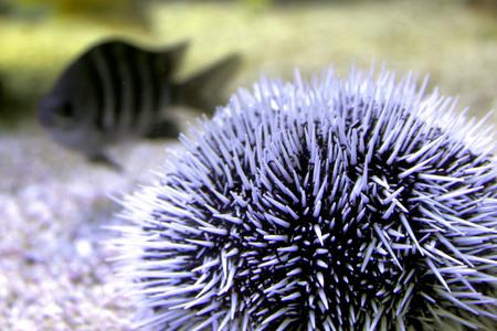 Sea urchin Imagens