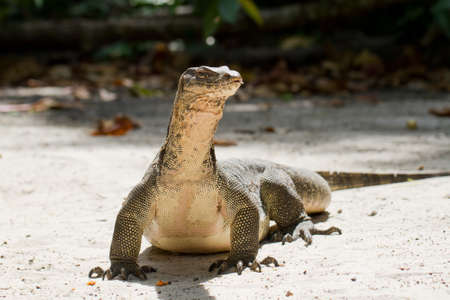 A crafty komodo dragon photo