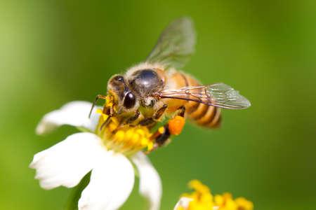 miel de abeja: Abeja en la flor, recogiendo néctar