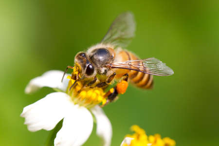 bee on flower: Bee on the flower, collecting nectar Stock Photo