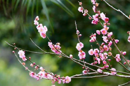 Pink Plum blossom, known as Mume flower in Chinese photo