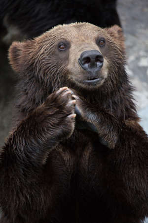 brown bear: Brown Bear