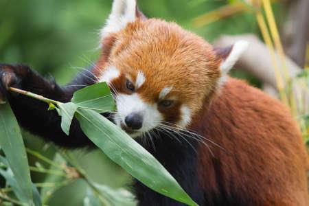 catlike: Lesser Panda Stock Photo