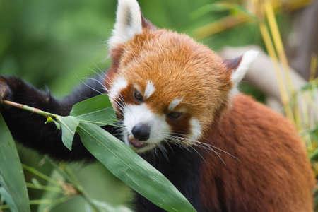 lesser: Lesser Panda Stock Photo