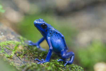 species living: blue frog