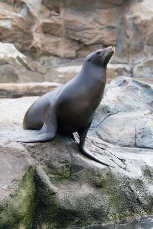 sea lion: Sea seal Stock Photo
