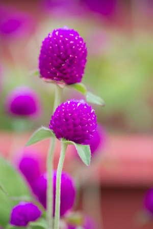 amaranth flower photo