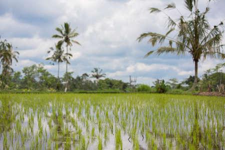 Rice Filed in Bali, Indonesia