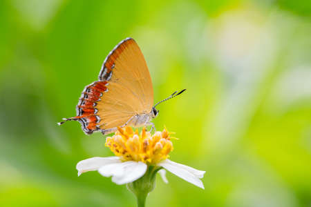 inachis: Yellow Lycaenidae Butterfly on the flower Stock Photo
