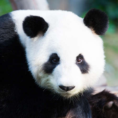 pandabeer: Close-up van een schattige Panda Bear Stockfoto