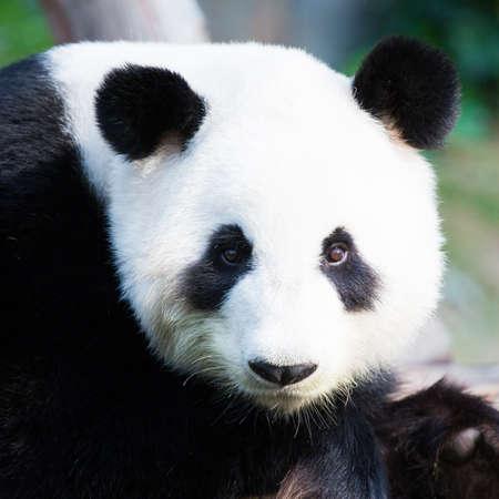 oso panda: Primer plano de un lindo oso de panda de