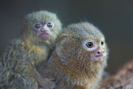 Pygmy Marmoset, the smallest monkey in the world Stock Photo