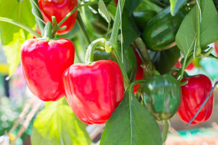 Red Pepper on the vine