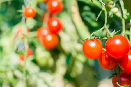 Cherry Tomato on the vine photo