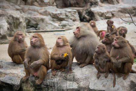 baboon: Hamadryas Baboon Stock Photo