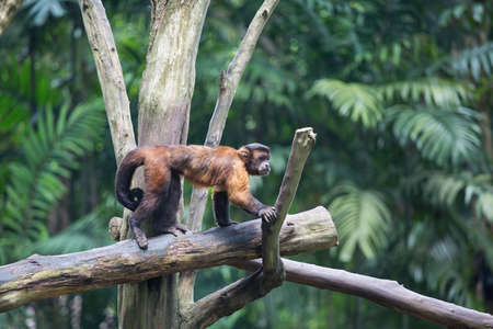 tree dweller: Brown Capuchin monkey on the tree Stock Photo
