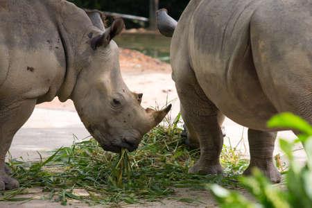 White Rhinoceros Archivio Fotografico - 39992145
