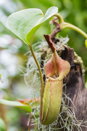 Close up of the nepenthes photo