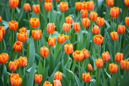 tulips field: Orange Tulips field Stock Photo