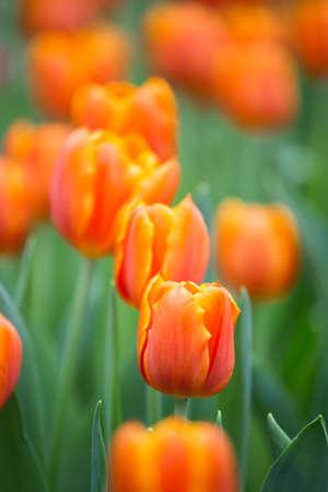 Orange Tulips Archivio Fotografico - 39992698
