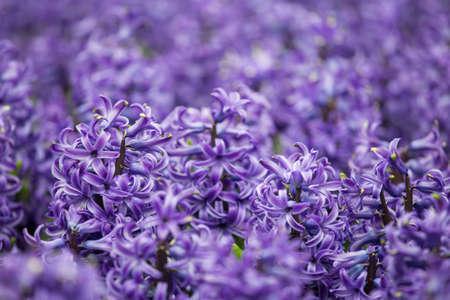 Viola Hyacinthus orientalis campo di fiori Archivio Fotografico - 39992699