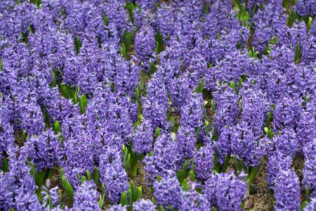 hyacinthus: P�rpura Hyacinthus orientalis campo de flores Foto de archivo