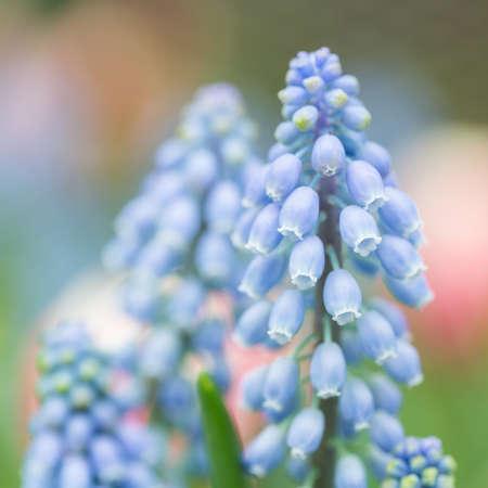 Armeniacum Muscari o giacinti nel giardino di primavera 39Keukenhof39 Olanda Archivio Fotografico - 39992704