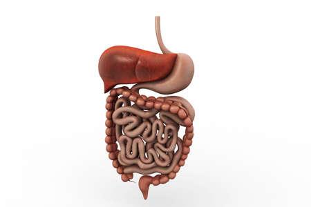 human digestive system Banco de Imagens
