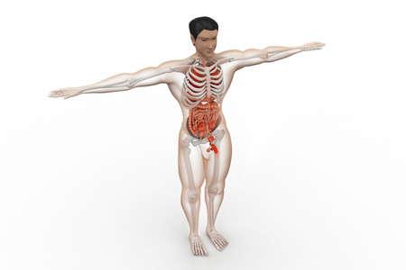 human anatomy Stock Photo