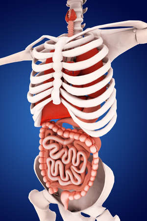 didactic: human digestive system Stock Photo