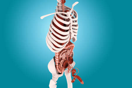 suspensory: human anatomy Stock Photo