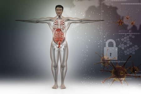 urogenital membrane: human anatomy Stock Photo