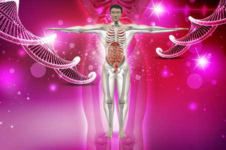 human anatomy with dna photo