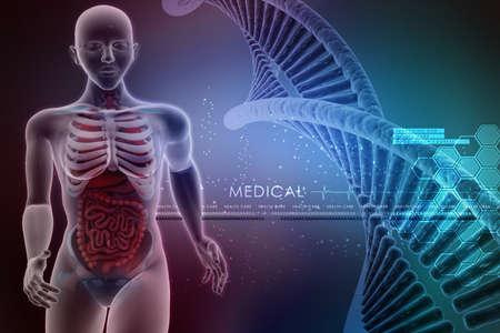 urogenital: anatom�a humana