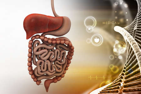 human liver: human digestive system Stock Photo