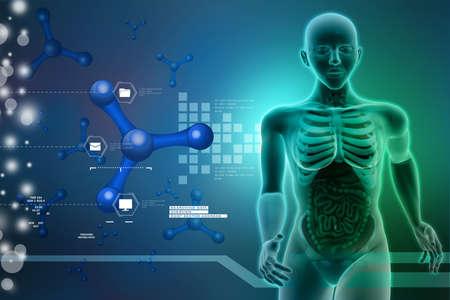urogenital: la anatom�a humana Foto de archivo