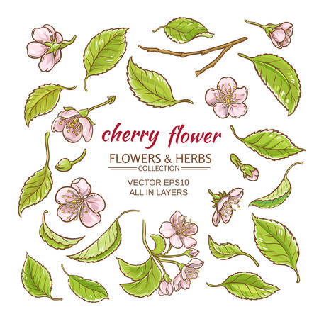cherry flowers vector set  on white background