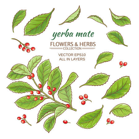 horticultural: vector illustration with yerba mate on white background