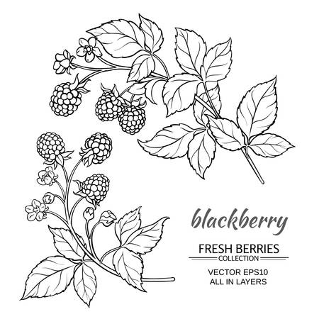 blackberry plant vector set on white background