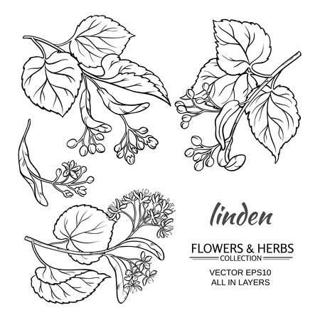 fiori di tiglio e foglie insieme vettoriale su sfondo bianco