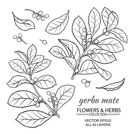 ilex: vector illustration with yerba mate on white background