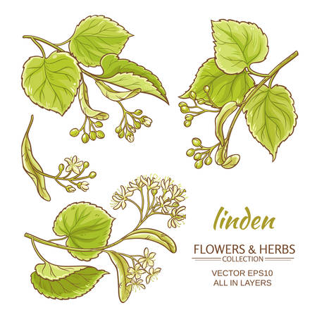 linden branches vector set on white background