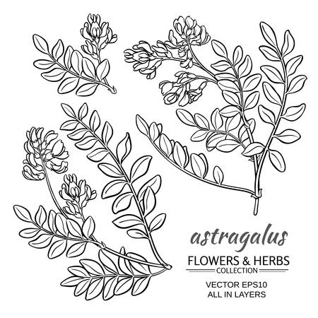 inflorescence: astragalus plant vector set on white background