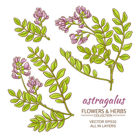 astragalus plant vector set on white background